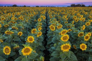 G2137D - Gavrilis, John - Dawn Sunflowers