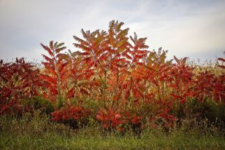 C1351D - Cannon, George - Autumn Sumac