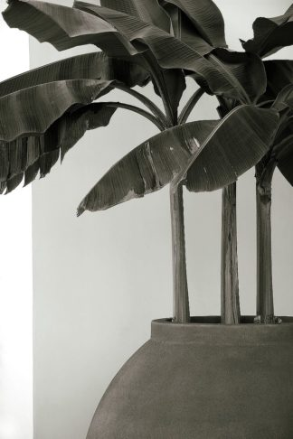 C1352D - Cannon, George - Banana Trees