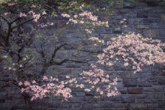 C1357D - Cannon, George - Dogwood in Pink