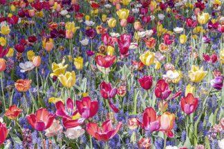 S1918D - Silver, Richard - Kuekenhof Tulips II