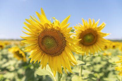 S1923D - Silver, Richard - Sunflowers II