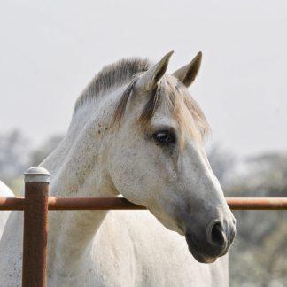 VIZ21 - Vizvary, Susan - White Horse 3