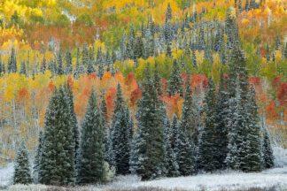 L968D - Leacock, J.C. - Christmas Trees