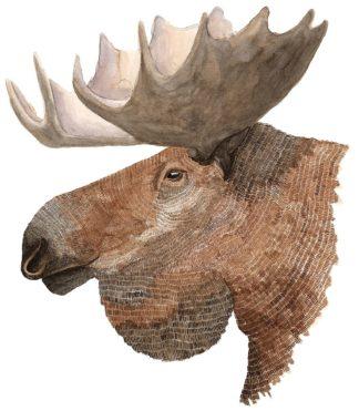 S1946D - Saylor, Jeannine - Moose