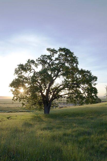 Oak Tree #95