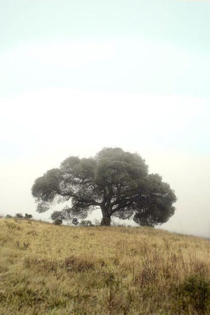 Oak Tree #52