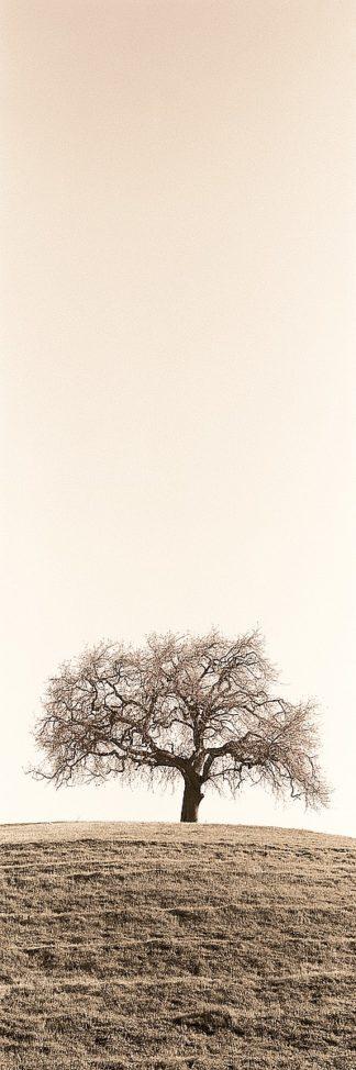 Lone Oak Tree