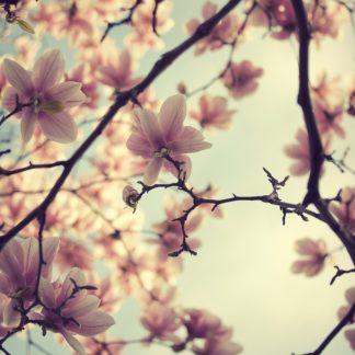 S1116D - Suchocki, Irene - Pink Blossoms