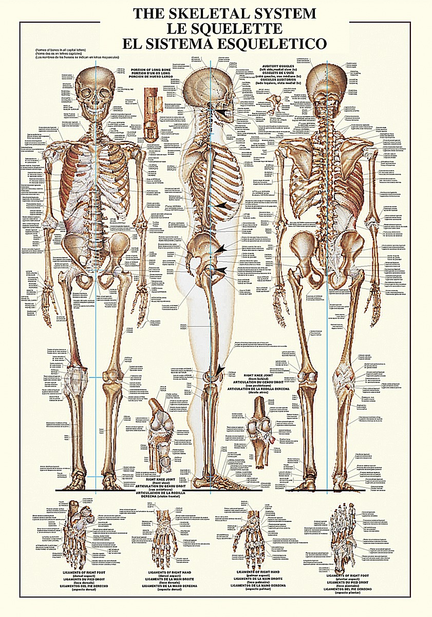 The Skeletal System Image Conscious